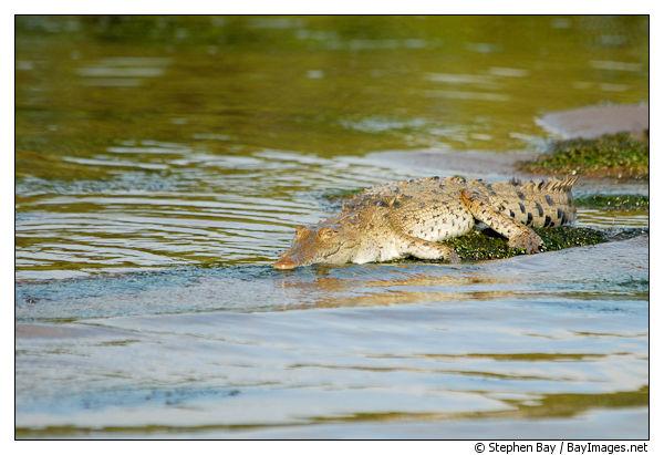 American Crocodile, Crocodylus acutus. Tortuguero, Costa Rica.