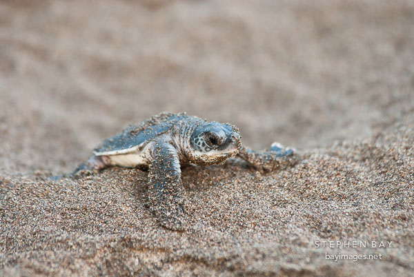 Newly hatched baby Atlantic Green Sea Turtle struggles to reach the ocean. Tortuguero, Costa Rica.