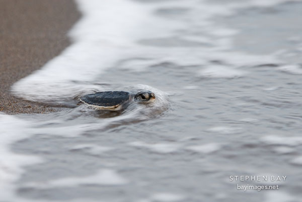 Baby sea turtle reaches the Caribbean sea. Tortuguero, Costa Rica.