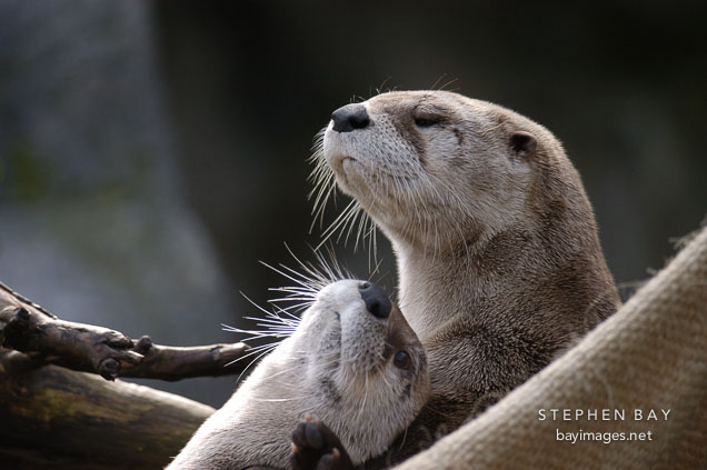 North American River Otter. Lutra canadensis. Male and female.