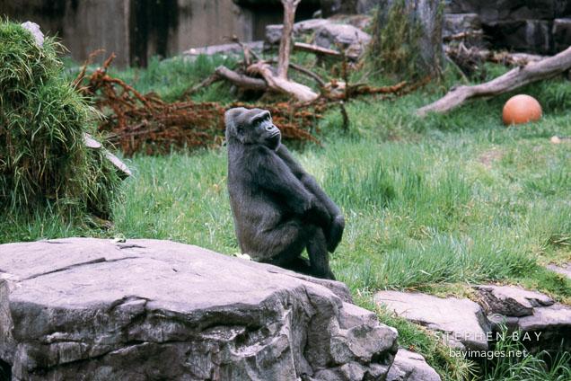 Western lowland gorilla. Gorilla gorilla gorilla. San Francisco Zoo, California.