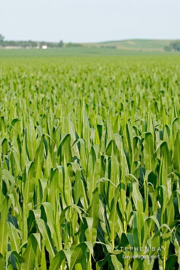 Corn Field. Iowa, USA.