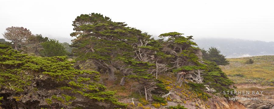 Allan Memorial Grove at Point Lobos, California.