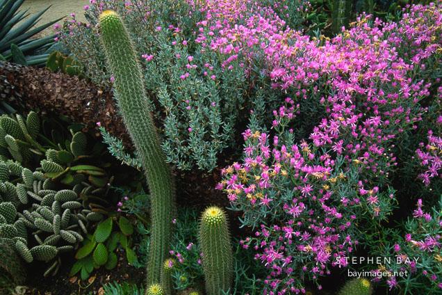 Cactus Garden. Stanford University, Stanford, California, USA.