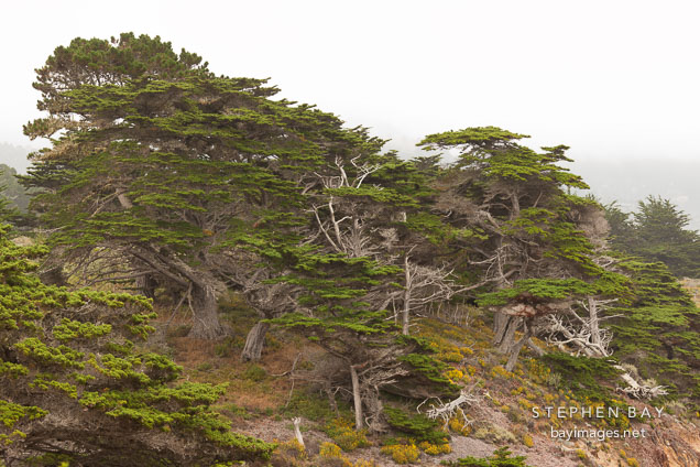 Cypress trees at Allan Memorial Grove. Point Lobos, California.
