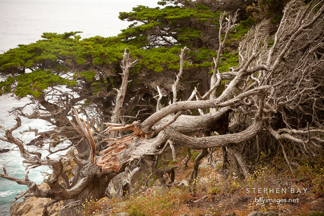 Fallen cypress tree at the Allan Memorial Grove. Point Lobos, California.