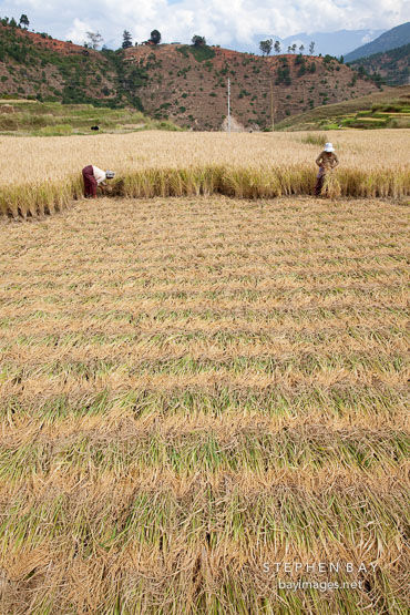 Sheaves of rice cut and laid flat for harvesting. Sopsokha, Bhutan.