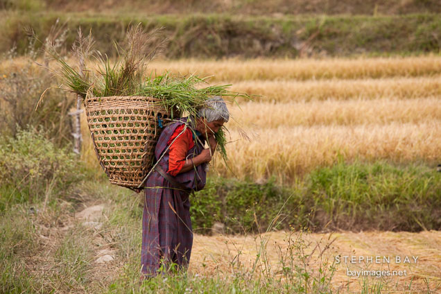 Old woman carrying a basket of rice stalks on her back. Sopsokha, Bhutan.
