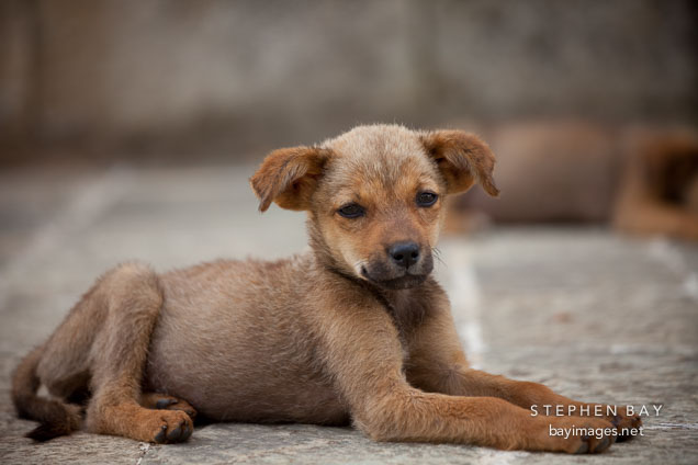 Puppy lying on the stones at Khamsum Yuelley Namgyal Chorten. Punakha Valley, Bhutan.