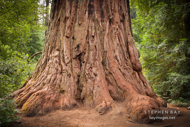Father of the forest redwood tree. Big Basin Redwoods State Park, California.