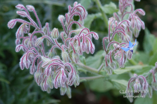 Borago officinalis, borage.