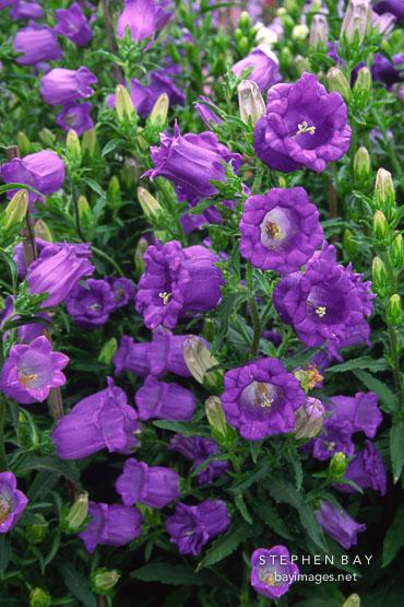 Голландский колокольчик цветы