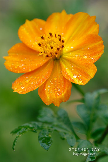 Morning dew on Cosmos sulphureus, 'Bright Lights'.