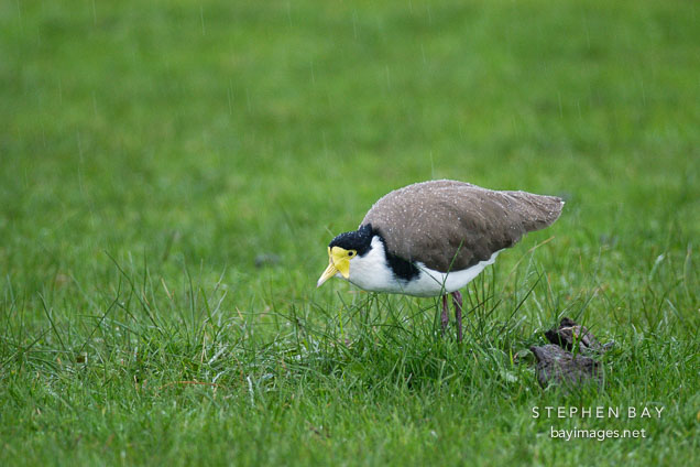 Spur-winged lapwing walking in grass. Vanellus miles novaehollandiae.