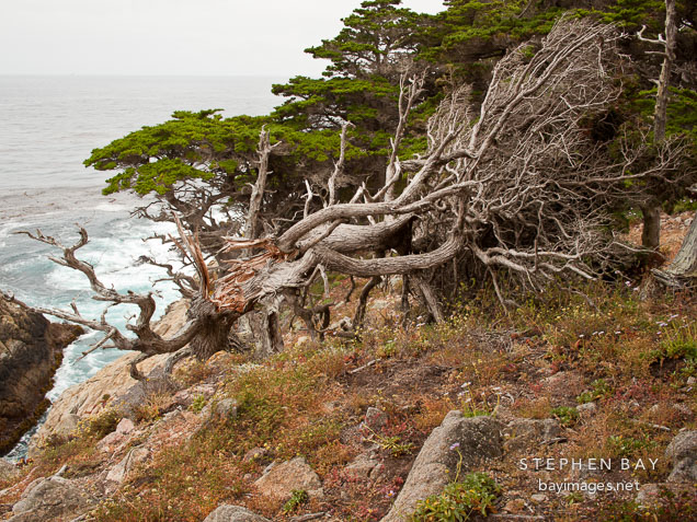 Cypress tree with trunk ripped apart. Point Lobos, California.