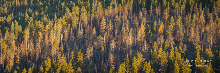 Panorama of the pine forest by the Cinder Cone trail. Lassen NP, California.