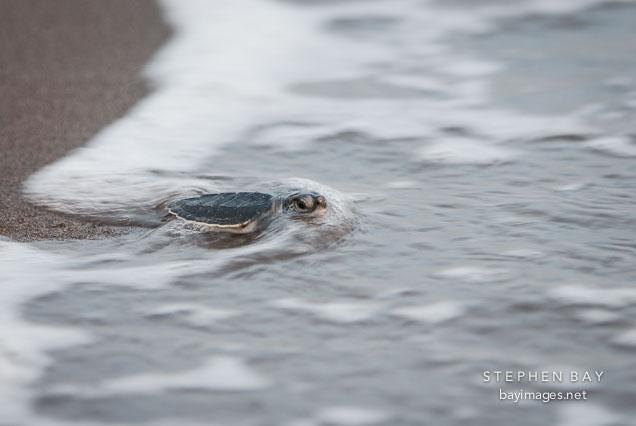 Baby sea turtle reaches the Caribbean sea. Tortuguero, Costa Rica.