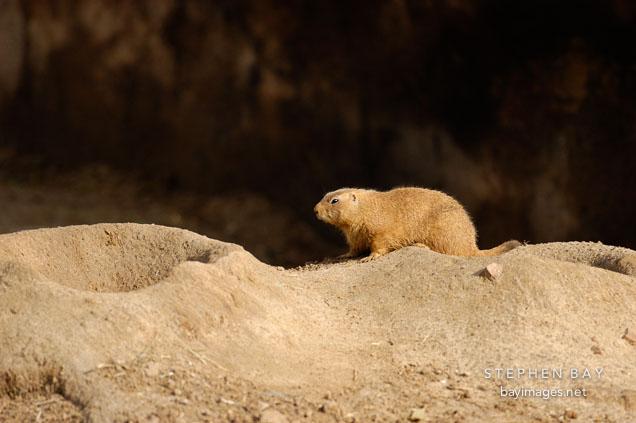 Photo: Black-tailed Prairie Dog - 52.0KB