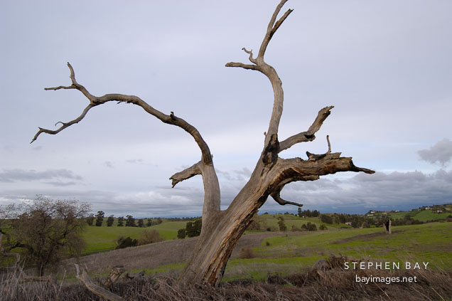 Dead tree at Arastradero Preserve. Palo Alto, California, USA.