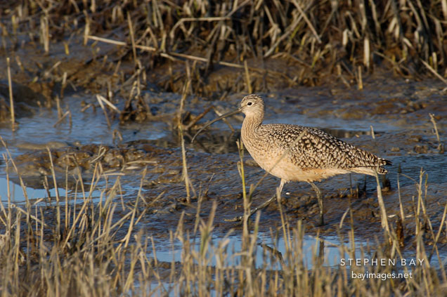 Long-billed curlew, Numenius americanus. Palo Alto Baylands Nature Preserve, California.