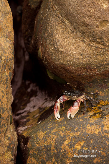 Striped shore crab between the rocks at Weston Beach. Point Lobos, California.