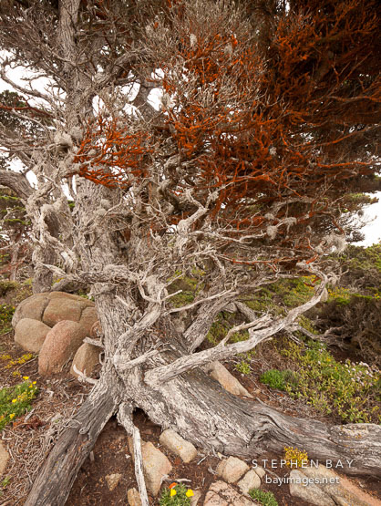 Algae with beta carotene covering cypress tree. Point Lobos, California.