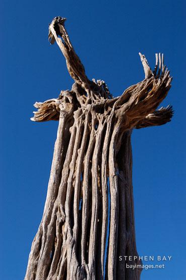 Saguaro skeleton. Cereus giganteus