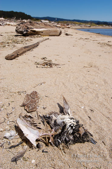 Carcass of dead bird. Pescadero state beach, California, USA.