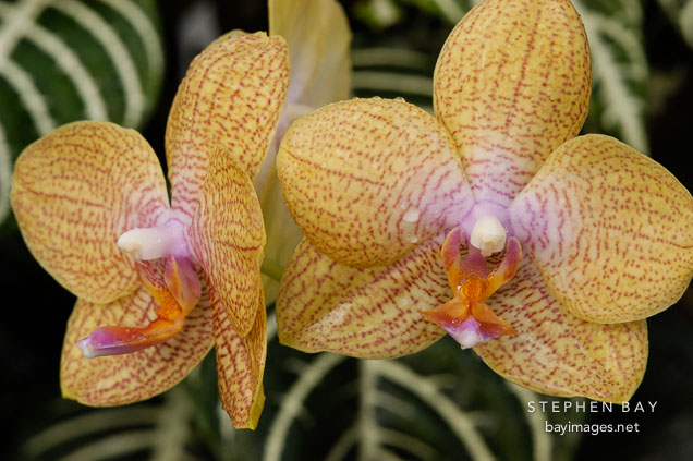 Phalaenopsis, 'California Orange' Orchid. Orchidaceae. - Photo ID #3515