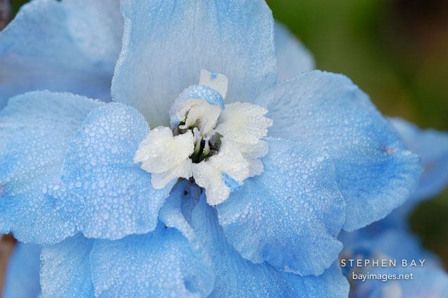 - giant-pacific-delphinium-summer-skies-3289