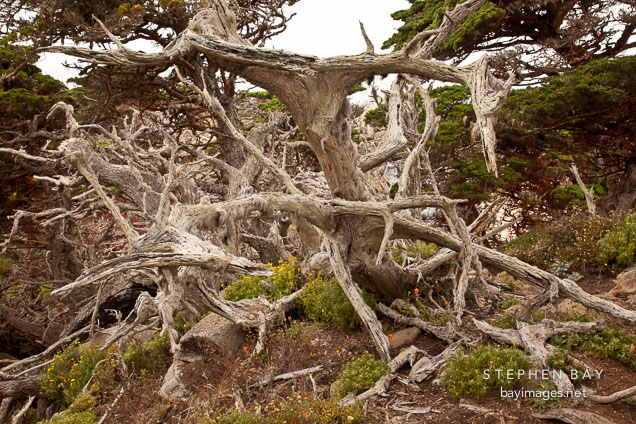Fallen and weathered cypress trees. Point Lobos, California.