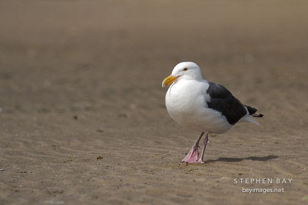 Gull at Pescadero state beach, California, USA.