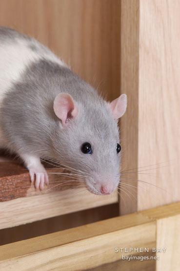 Fancy rats as pets - photo#25