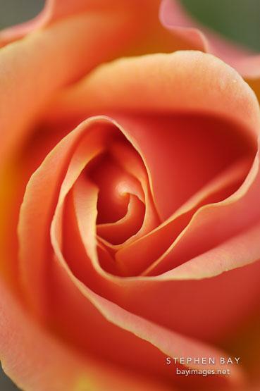 Photo: Rose 'apricot nectar' Apricot