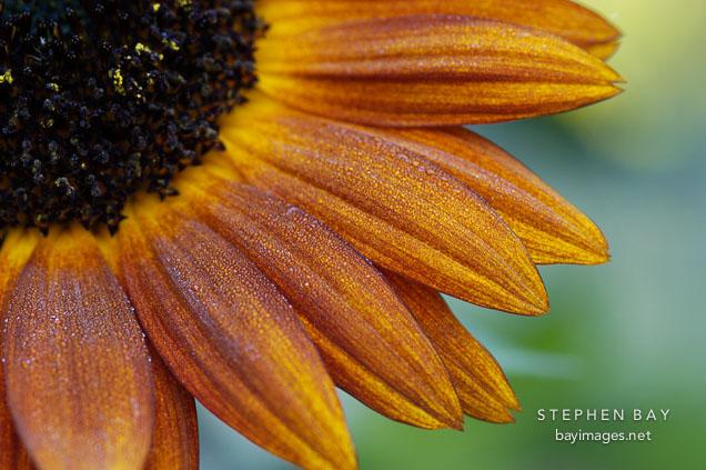 Sunflower 'Velvet Queen'. Helianthus annuus.