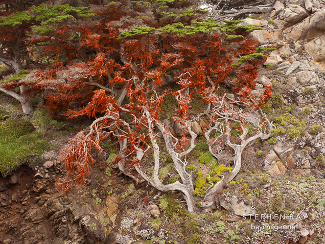 Cypress tree on cliff face covered in red algae.
