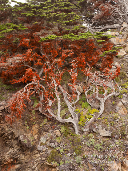 Algae rich in beta carotene cover this Monterey cypress tree. Point Lobos, California.