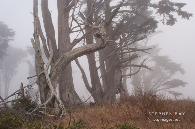 Fog and trees at Tomales Point, Point Reyes National Seashore, California.