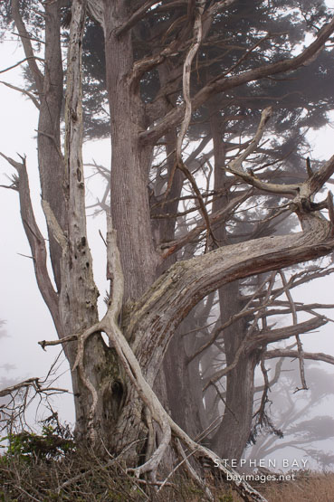 Trees in the fog at Tomales Point, Point Reyes National Seashore, California.
