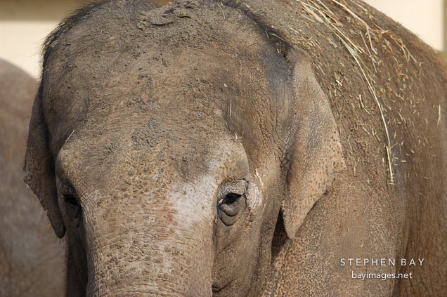 Asian Elephant, Elephas maximus.