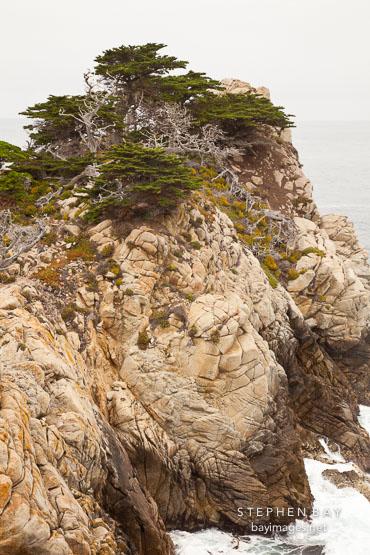 Coastal cypress trees at Point Lobos.