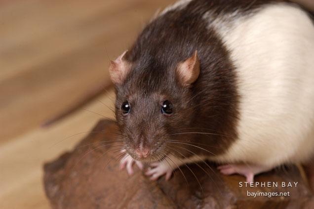Barna csuklyás patkány