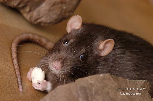 Patkány nasit eszik
