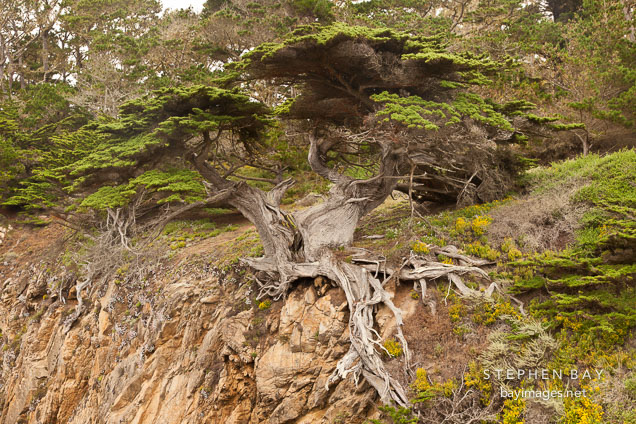 Old Veteran Cypress tree. Point Lobos, California.