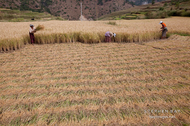 Women cutting sheaves of rice with sickles. Sopsokha, Bhutan.