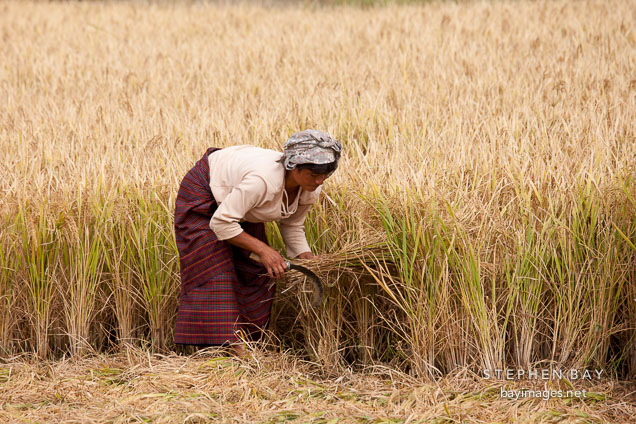 Women cutting a sheaf of rice. Sopsokha, Bhutan.