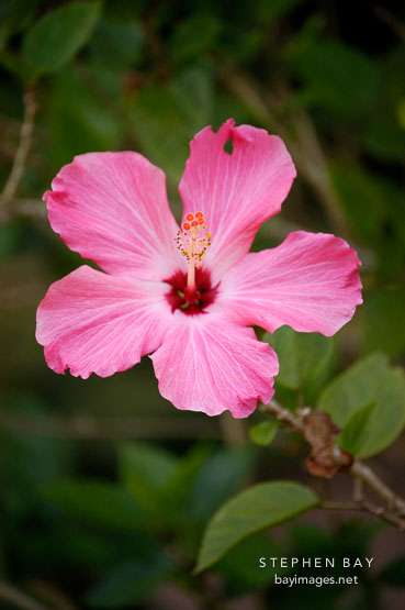 Photo Hibiscus Amazon Peru