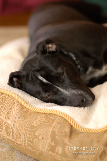 Chiqui sleeps on her bed. She is a mixed dog with Labrador retriever and American Pit Bull Terrier ancestry.