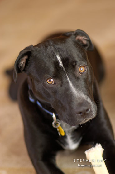 Chiqui, a mixed dog with Labrador retriever and American Pit Bull Terrier ancestry.