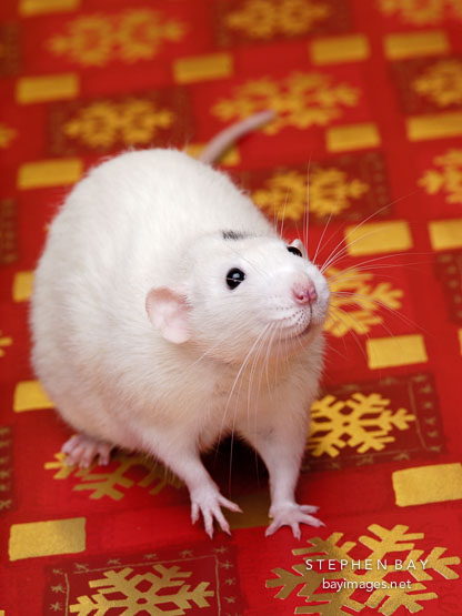 Salty, a white rat sits on a red background with gold snowflakes.